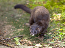 The European polecat Royalty Free Stock Image