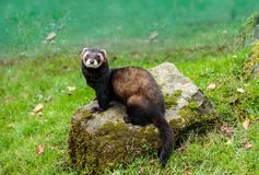 The European polecat sitting on a rock. The European polecat — also known as the common ferret, black or forest polecat, or fitch — is a species of stock photo