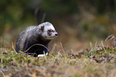 European polecat Stock Photography