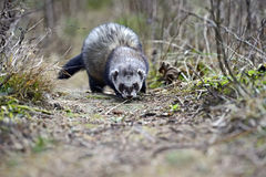 European polecat Stock Photo
