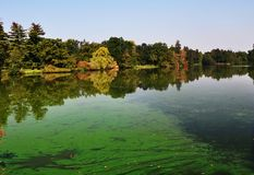 An european pond covered a lot of cyanobacteria,green biofilm grows on the water Royalty Free Stock Image