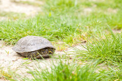 European pond terrapin. Hiding in its shell Stock Photo
