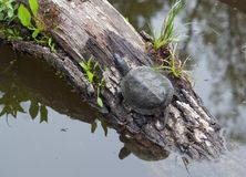 European pond terrapin. Sitting on a bough at a pond Royalty Free Stock Images
