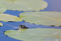 A European pond terrapin Stock Photo