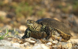 European Pond Terrapin (Emis orbicularis) Stock Photos