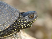 European Pond Terrapin (Emis orbicularis) Stock Photo