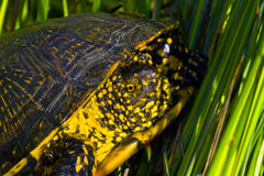 European pond terrapin (Emys orbicularis) Stock Image