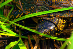European pond terrapin (Emys orbicularis) Stock Photo