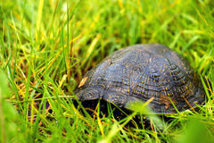 The European pond terrapin Royalty Free Stock Images