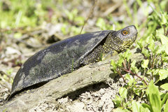 European pond terrapin  / Emys orbicularis Stock Photo