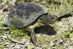 European pond terrapin  / Emys orbicularis Royalty Free Stock Images