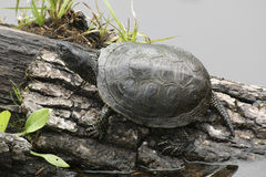 European pond terrapin. Sitting on a bough at a pond Stock Photo