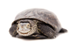 European pond terrapin on white Royalty Free Stock Photography