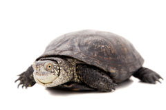 European pond terrapin on white Royalty Free Stock Images