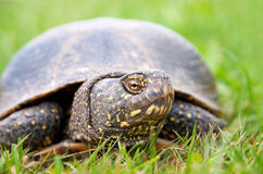 European pond turtle Royalty Free Stock Photos