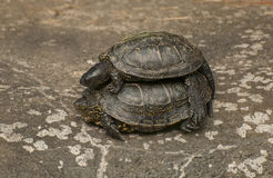European pond turtle. Is a long-living freshwater species of turtle Royalty Free Stock Photo