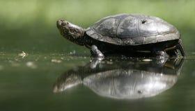 European Pond Turtle, Emys Orbicularis, Royalty Free Stock Images