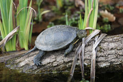 European Pond Turtle Royalty Free Stock Photography