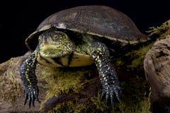 European Pond Turtle (Emys Orbicularis) Royalty Free Stock Images