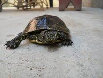 European pond turtle Royalty Free Stock Photo
