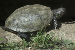 European pond turtle (Emys orbicularis). Stock Photos