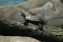 European pond turtle (Emys orbicularis). Royalty Free Stock Photo
