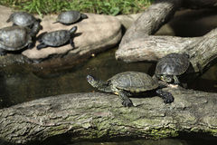 European pond turtle (Emys orbicularis). Royalty Free Stock Image