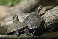European pond turtle (Emys orbicularis). Royalty Free Stock Photography