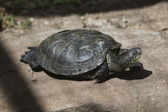 European pond turtle (Emys orbicularis). Stock Photography