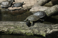 European pond turtle (Emys orbicularis). Stock Image