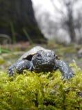 European pond turtle Stock Photos