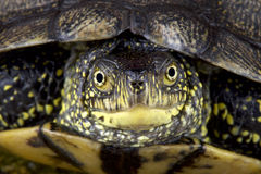 European pond turtle (Emys orbicularis) Royalty Free Stock Images
