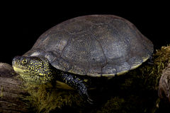 European pond turtle (Emys orbicularis) Stock Photos