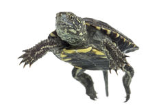 European Pond Turtle, Emys Orbicularis, Floating In Royalty Free Stock Image