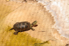 European pond turtle Emys orbicularis Royalty Free Stock Photo