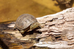 European pond turtle Emys orbicularis Royalty Free Stock Photos
