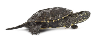 European pond turtle, Emys orbicularis, in front of. European pond turtle (1 year old), Emys orbicularis, in front of a white background Stock Photography