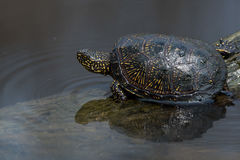 European pond turtle or Emys orbicularis Stock Photo