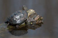 European pond turtle or Emys orbicularis Royalty Free Stock Photography