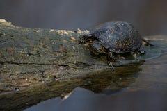 European pond turtle or Emys orbicularis Royalty Free Stock Photos