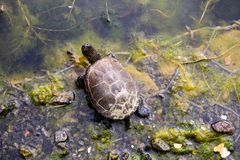 European pond turtle Emys orbicularis Stock Image