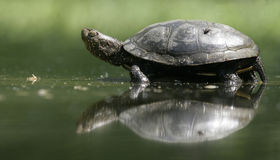 European pond turtle, Emys orbicularis, Royalty Free Stock Images