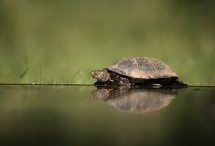 European pond turtle, Emys orbicularis, Royalty Free Stock Image