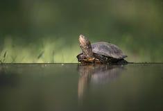 European pond turtle, Emys orbicularis, Royalty Free Stock Photography
