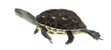 European pond turtle, Emys orbicularis, swimming. European pond turtle (1 year old), Emys orbicularis, swimming in front of a white background Royalty Free Stock Photo
