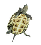 European pond turtle, Emys orbicularis, swimming. European pond turtle (1 year old), Emys orbicularis, swimming in front of a white background Stock Photos