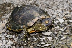 European pond turtle, Emys orbicularis Stock Photo