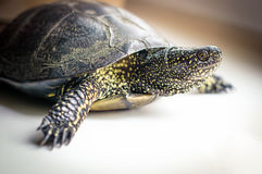 European pond turtle. Stock Image