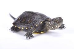 European pond turtle,Emys orbicularis. The European pond turtle,Emys orbicularis, is a turtle species found in southern europe Royalty Free Stock Photo
