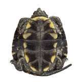 European pond turtle, Emys orbicularis. European pond turtle (1 year old), Emys orbicularis, in front of a white background Stock Photos